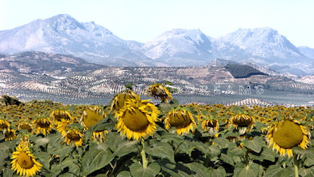 Sunflower Print - Mountain View